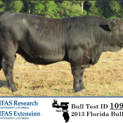 L & L Cattle Company, Marianna, consigned the top performing bull in the 2013 Florida Bull Test. Their Simmental bull, LLCC Big Jake Z211, gained 5.31 pounds per day on the 112 day test.