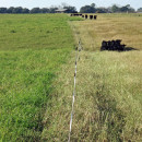 Researchers at Auburn University have conducted research trials feeding cow-calf pairs and stocker calves on stockpiled Tifton 85 Bermudagrass at the Wiregrass Research and Education Center in Headland, Alabama.  This photo was taken on December 9, 2015 before the temporary electric fenced was moved over to allow access to fresh grazing.  Notice that the heifers are mainly grazing on the tender, high quality leaves and leaving the course stems that are much higher in fiber.  Photo credit:  Doug Mayo