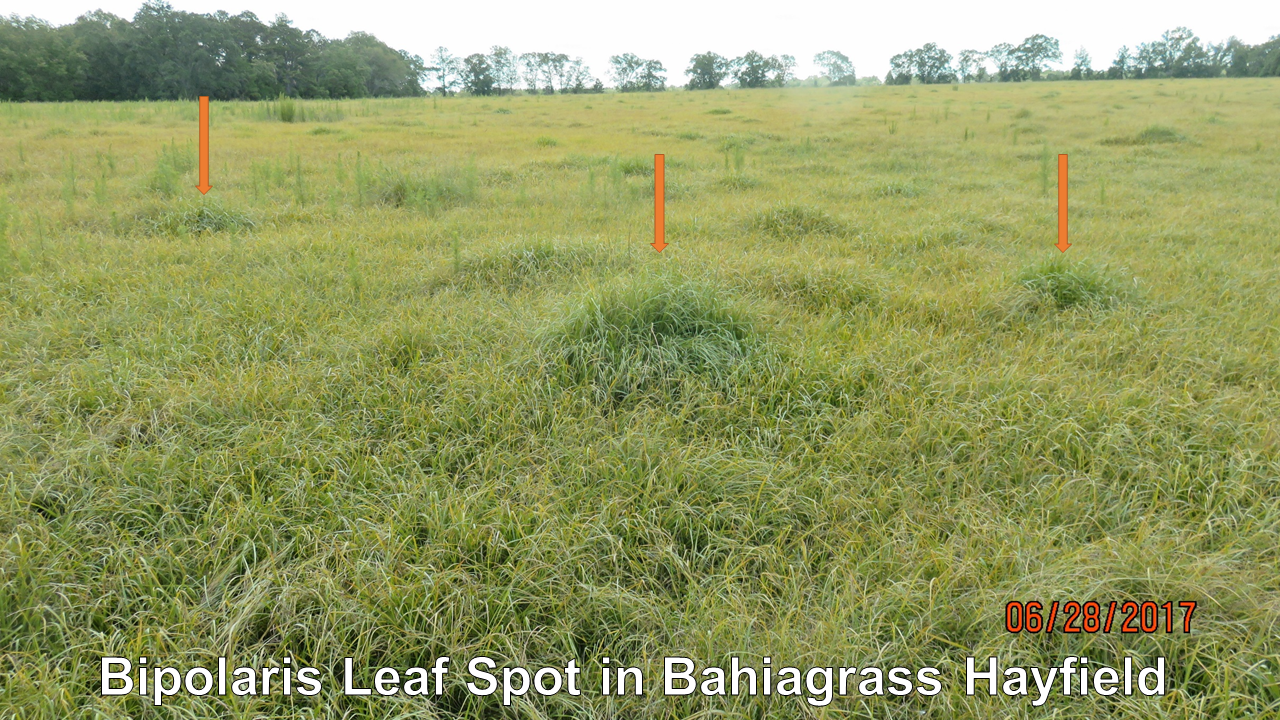 Pensacola bahiagrass hayfield that was yellow and stunted at the end of June near Marianna, FL. The orange arrows point out green clumps of grass where the fire ant mounds were located. Photo credit: Doug Mayo
