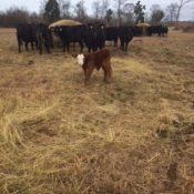 Hay Feeding