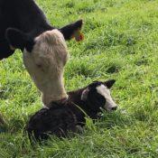 Cow-Calf Pair